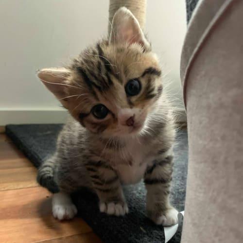 Samy ❤ - Domestic Short Hair Cat