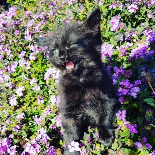 Charcoal - Domestic Short Hair Cat