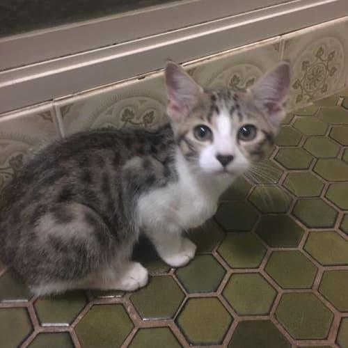 Zori - Domestic Short Hair Cat