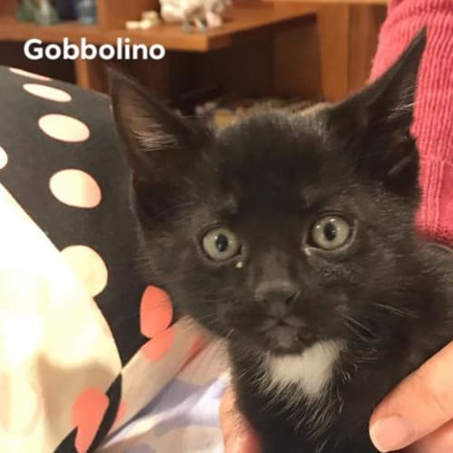 Gobbalino - Domestic Short Hair Cat