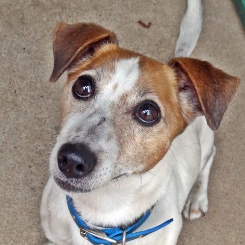 Jack - Jack Russell Terrier Dog