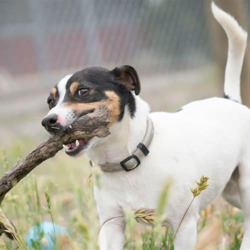 Peter - Fox Terrier Dog