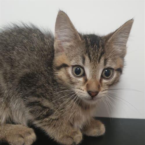 kendrick  - Dsh Cat
