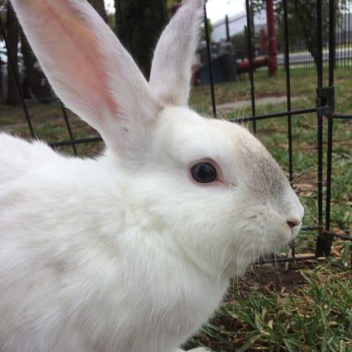 Nova - Dwarf Rabbit