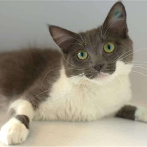 Trace - Domestic Short Hair Cat