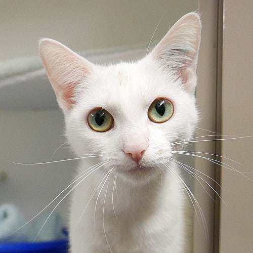 Pearl SUA004591 - Domestic Short Hair Cat