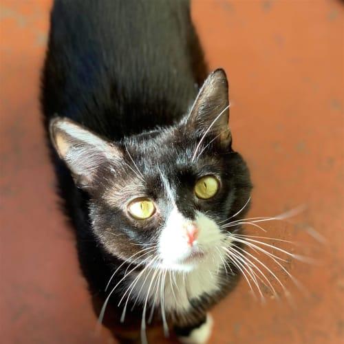Brad Kitt - Dsh Cat