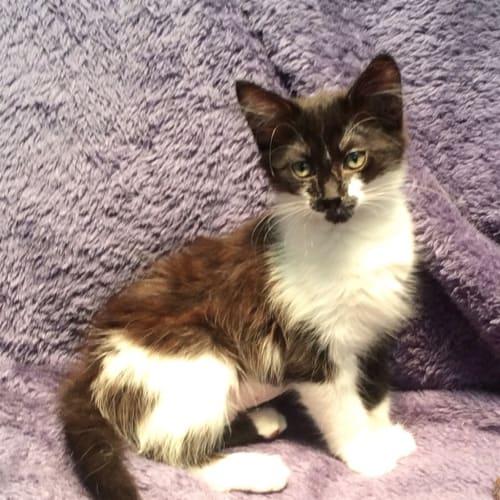 Paws - Domestic Short Hair Cat