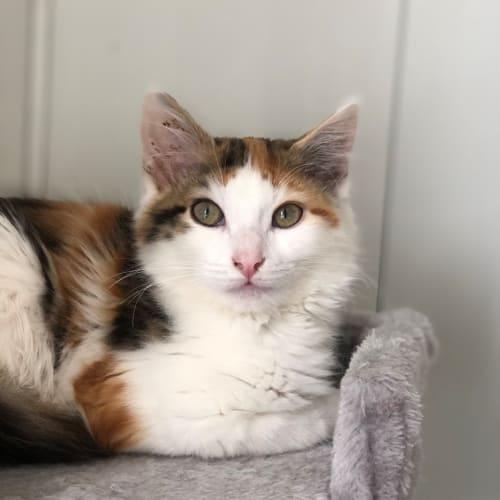 Vienna - Domestic Medium Hair Cat