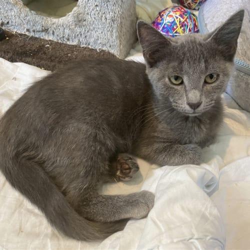 Forrero - Domestic Short Hair Cat