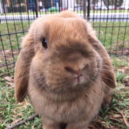 Fifi - Dwarf lop Rabbit