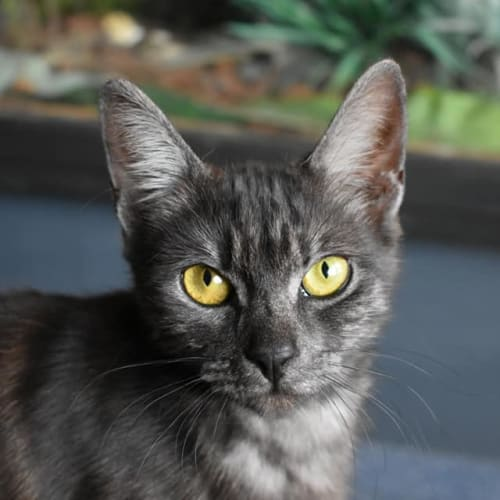 Sally - Domestic Short Hair Cat
