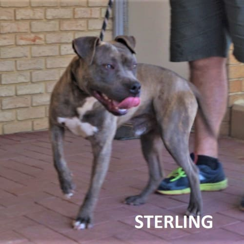 Sterling - American Staffordshire Bull Terrier Dog