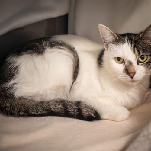 Puddin - Domestic Short Hair Cat