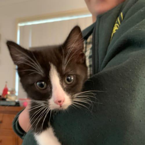 Spek  - Domestic Medium Hair Cat