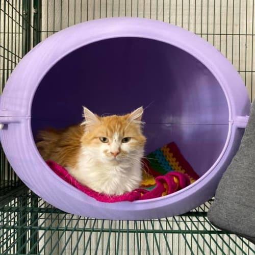 Frost - Domestic Medium Hair Cat