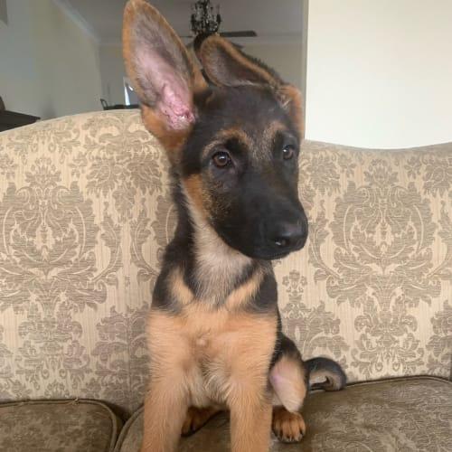 Thunder   - German Shepherd Dog