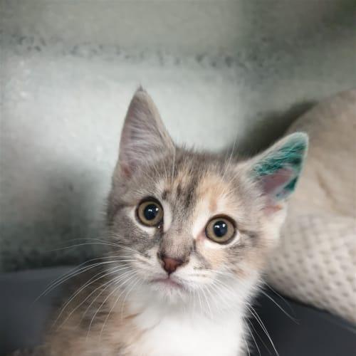 Piper - Dsh Cat