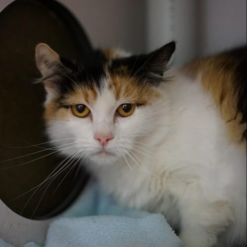 Marcia - Cymric Cat