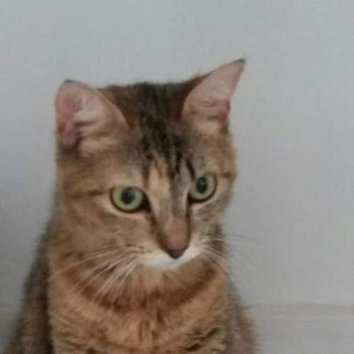 Zeta - Domestic Short Hair Cat