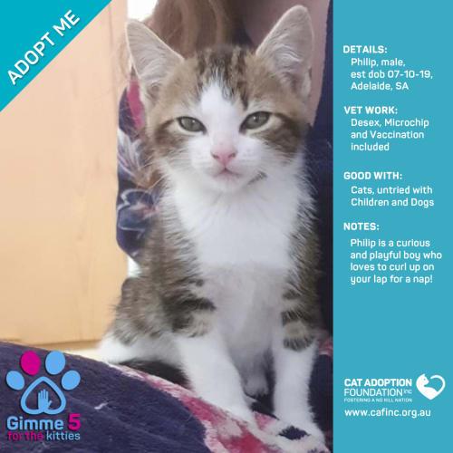 Philip - Domestic Short Hair Cat