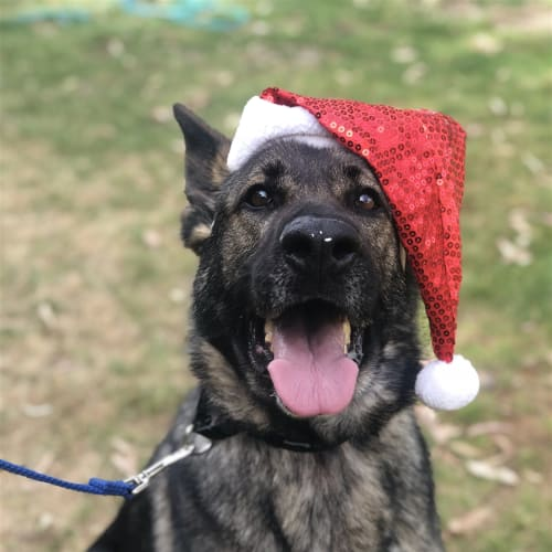 Izzy - German Shepherd Dog