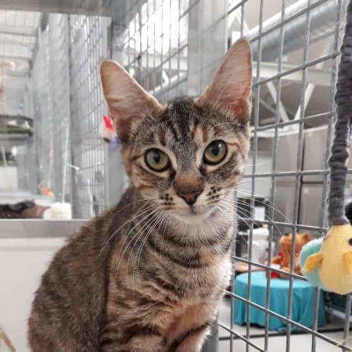 Payton - Domestic Short Hair Cat