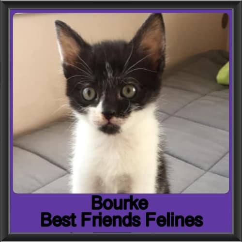 Bourke  - Domestic Short Hair Cat