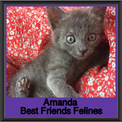 Amanda  - Domestic Short Hair Cat