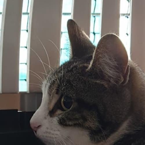 Polly - Domestic Short Hair Cat