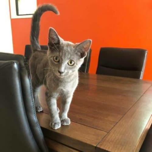Odis - Domestic Short Hair Cat