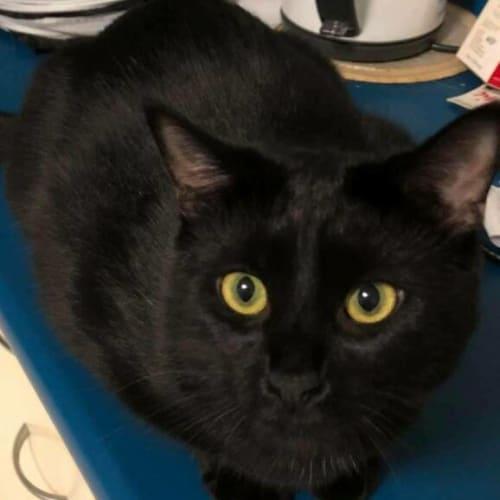 Phoenix - Domestic Short Hair Cat