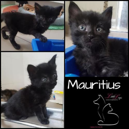 Mauritius - Domestic Short Hair Cat