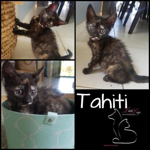 Tahiti - Domestic Short Hair Cat