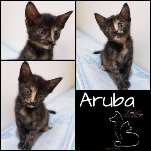 Aruba - Domestic Short Hair Cat