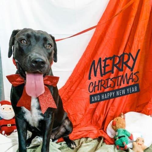 Cozmo - Labrador x Mixed Breed Dog