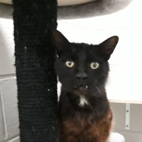 Panther Minx - Domestic Medium Hair Cat