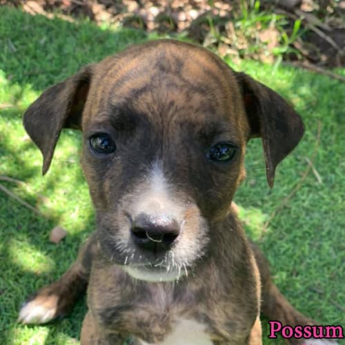 Possum - Boxer Dog