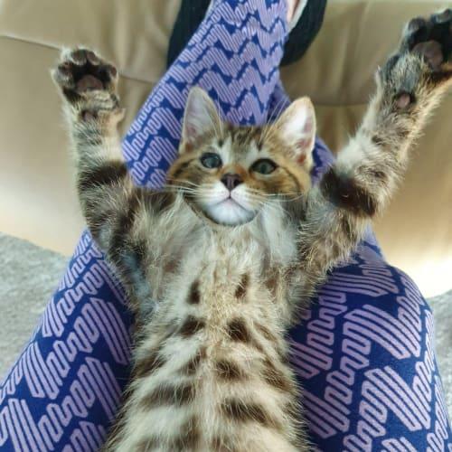 Prince - Domestic Short Hair Cat