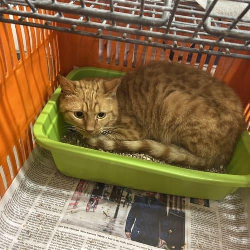 Zorrow - Domestic Short Hair Cat