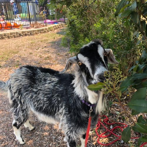 Gary -  Goat