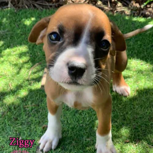 Ziggy - Boxer Dog