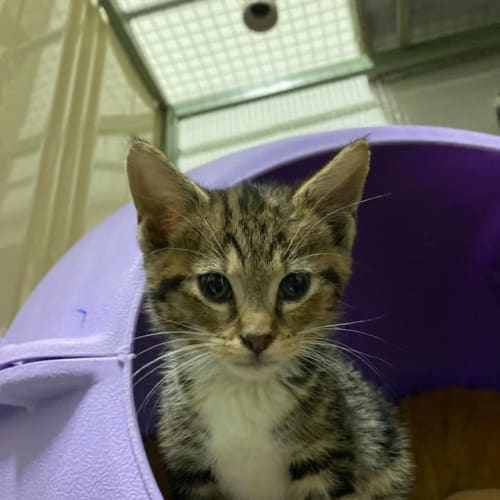Thimble - Domestic Short Hair Cat
