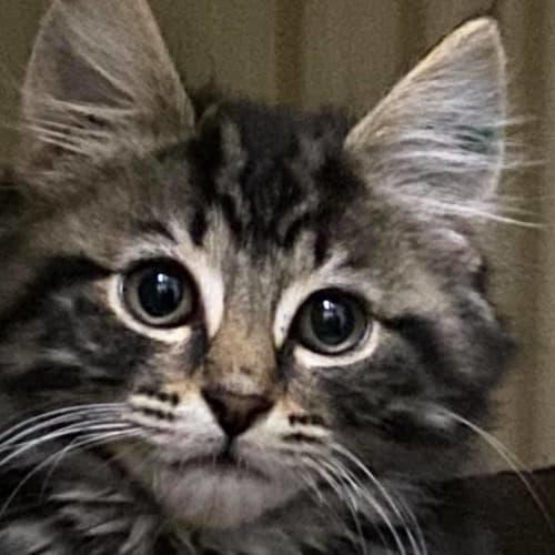 Smiggle - Domestic Medium Hair Cat