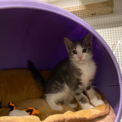 Ripley - Domestic Short Hair Cat