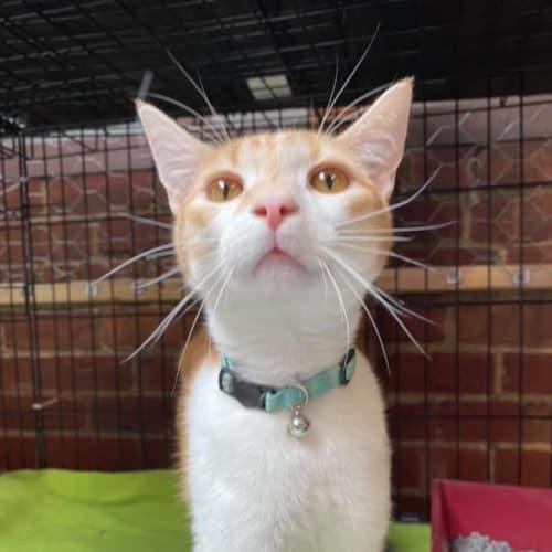 Leo - Located in Preston - Domestic Short Hair Cat