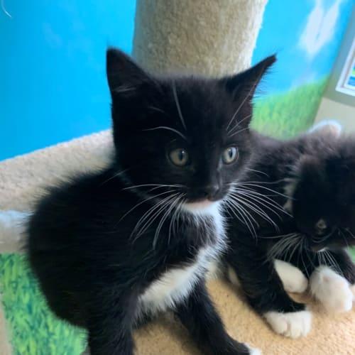Jacks  - Domestic Short Hair Cat