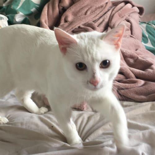 Catrick Swazey - Dsh Cat