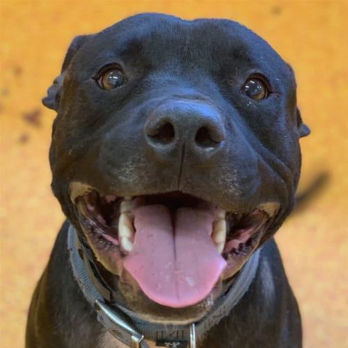 Axel - American Bulldog x American Staffordshire Bull Terrier Dog