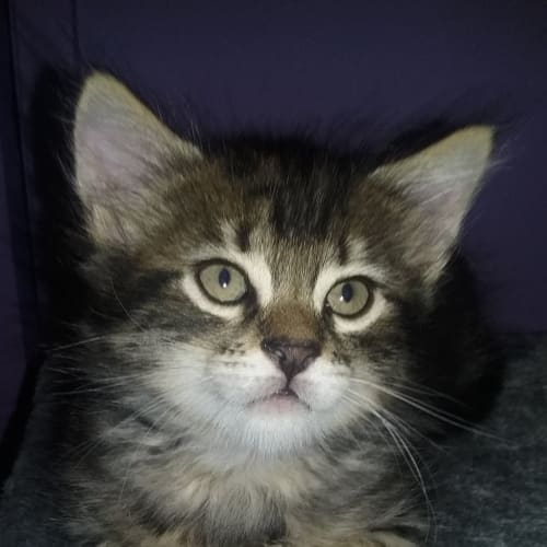 Dylan ❤ - Domestic Medium Hair Cat